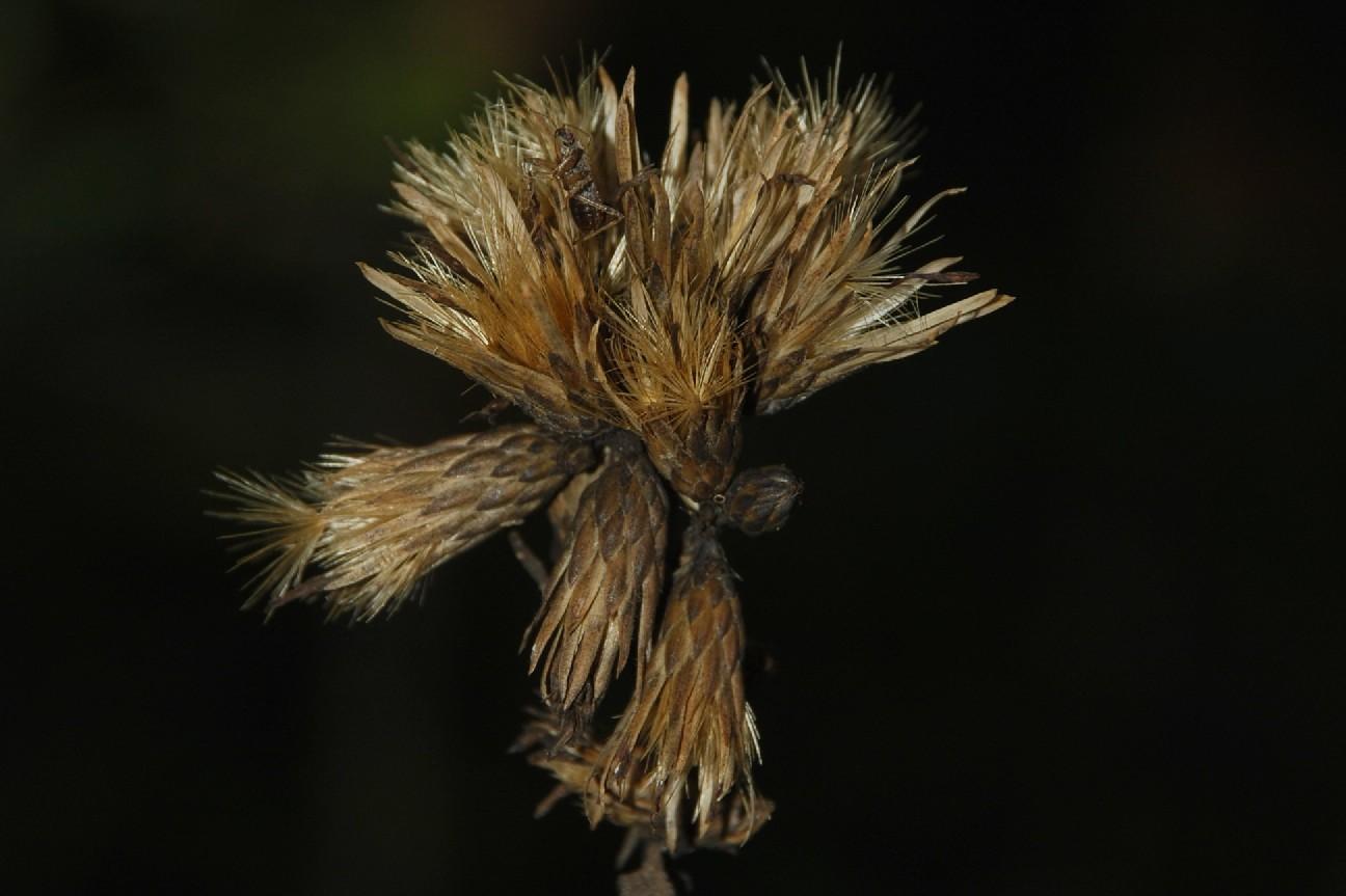Serratula tinctoria subsp. tinctoria 29