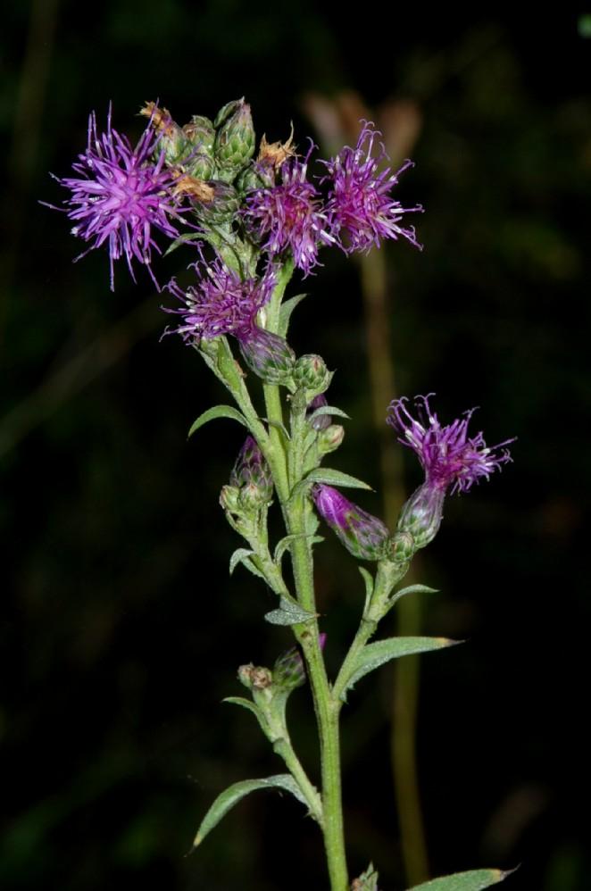 Serratula tinctoria subsp. tinctoria 3