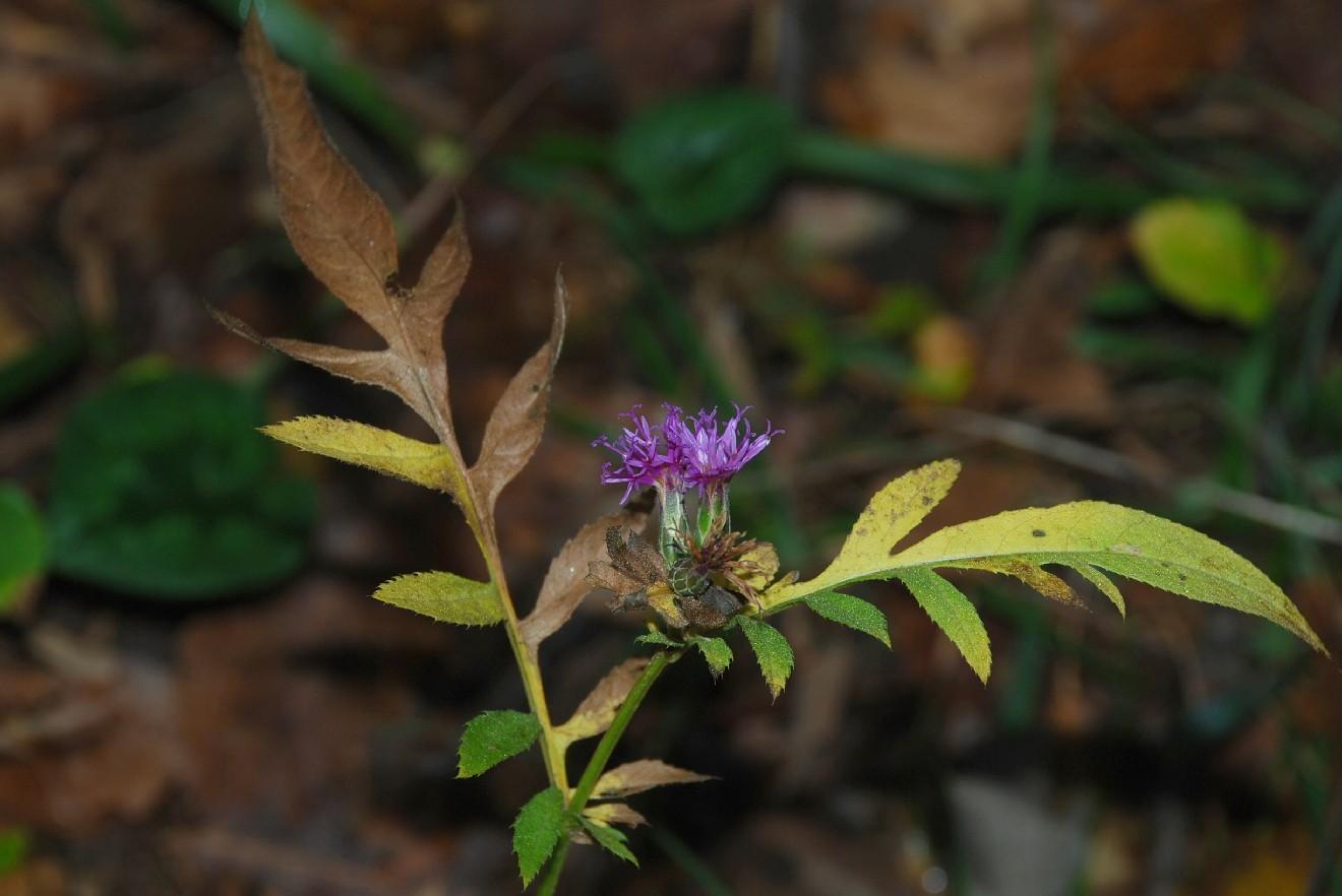 Serratula tinctoria subsp. tinctoria 31