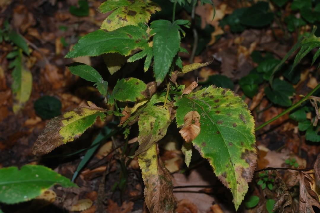 Serratula tinctoria subsp. tinctoria 33
