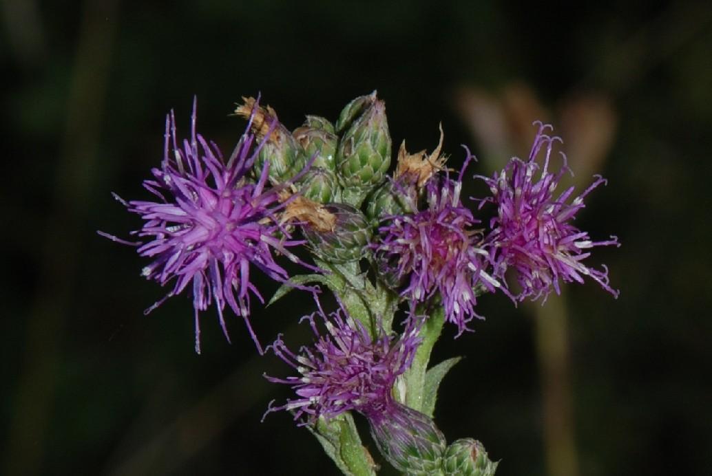 Serratula tinctoria subsp. tinctoria 6