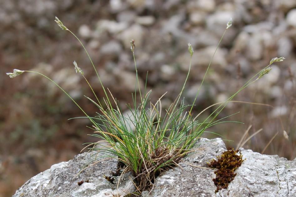 Sesleria tenuifolia subsp. tenuifolia