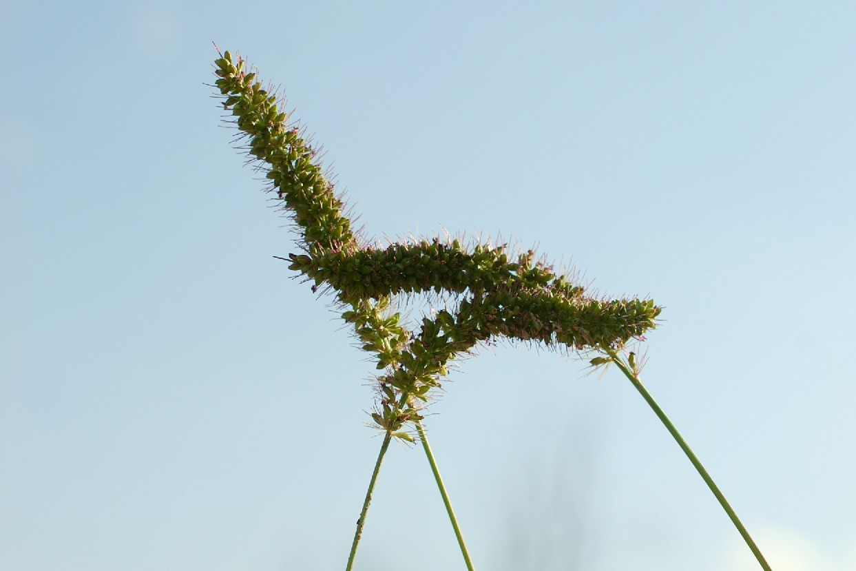 Setaria verticillata subsp. verticillata 23