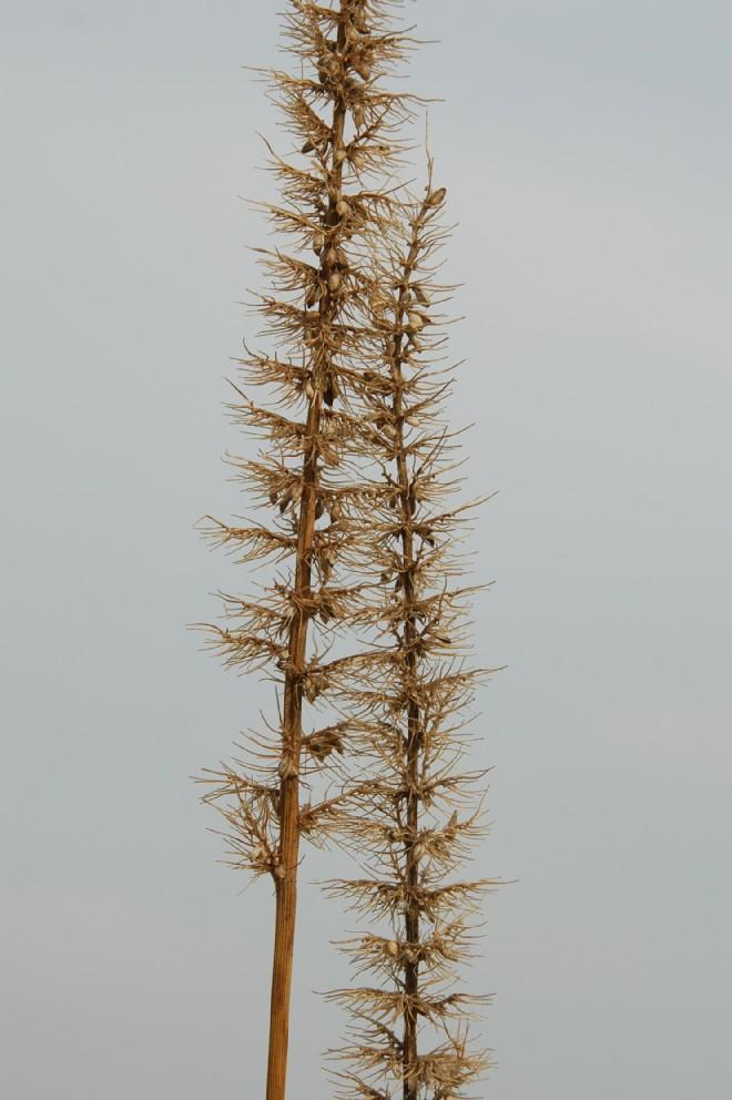 Setaria verticillata var. verticillata 11