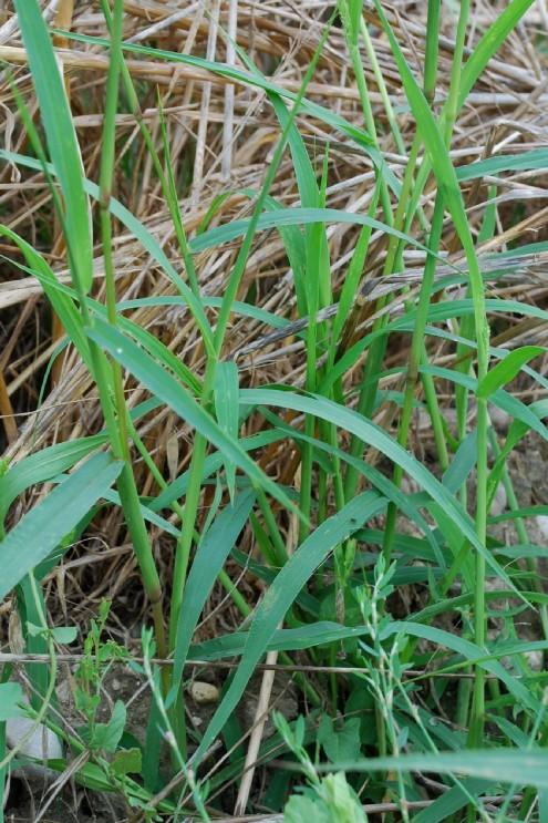 Setaria verticillata var. verticillata 8