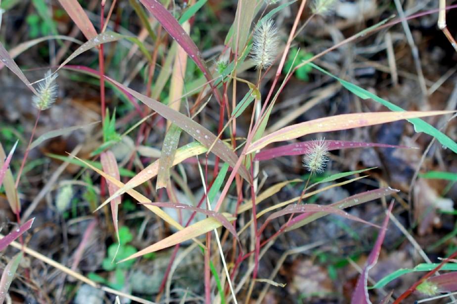 Setaria viridis 19