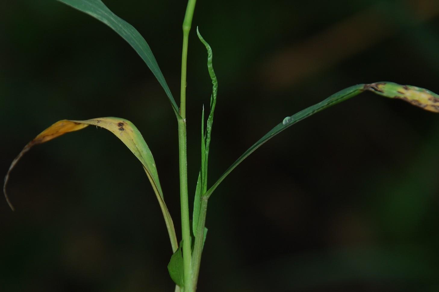 Setaria viridis 6