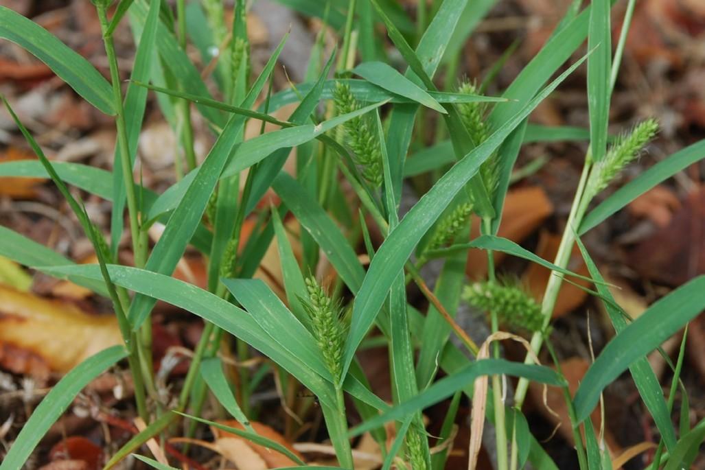 Setaria viridis 9