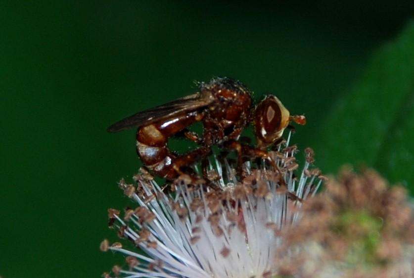 Sicus sp. - Conopidae