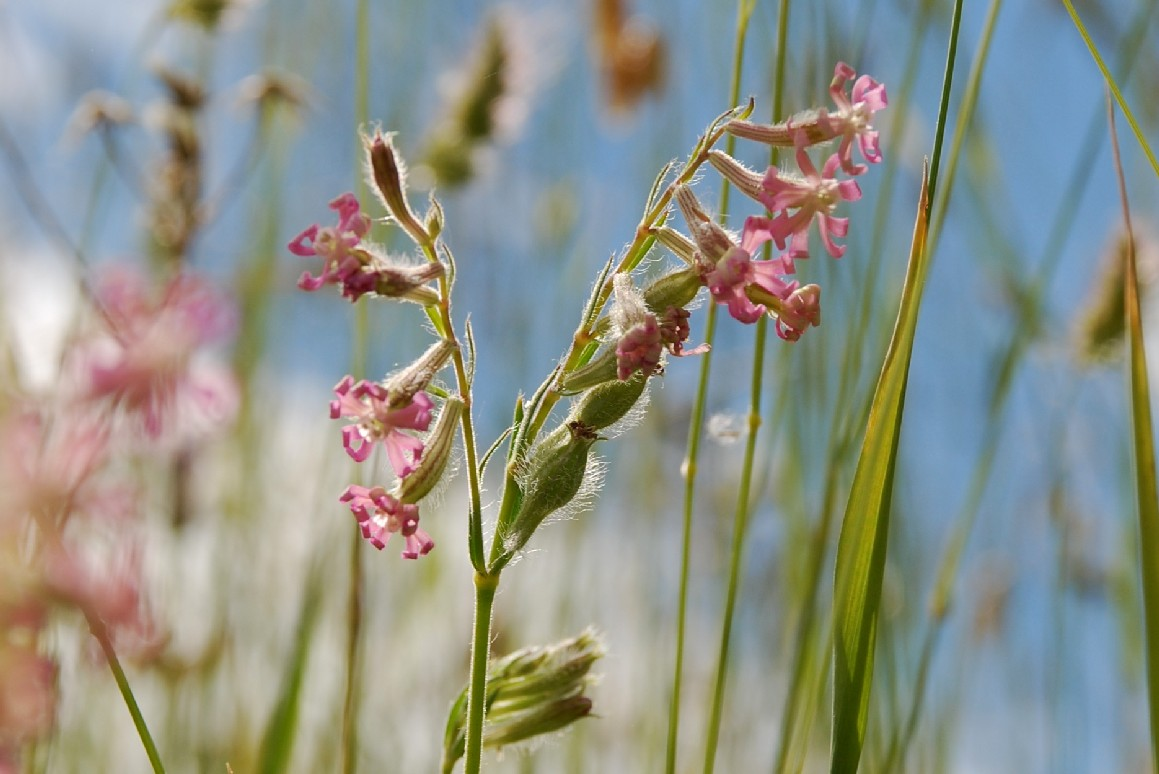 Silene bellidifolia 16