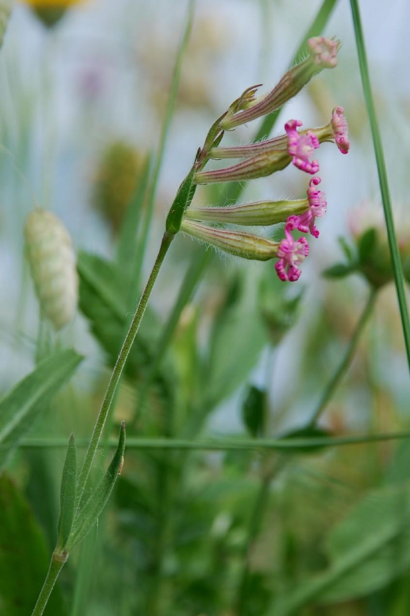 Silene bellidifolia 4