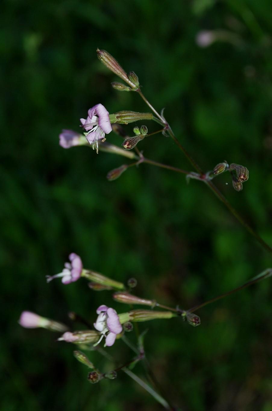 Silene italica subsp. italica 11