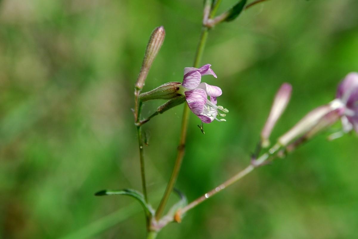 Silene italica subsp. italica 15