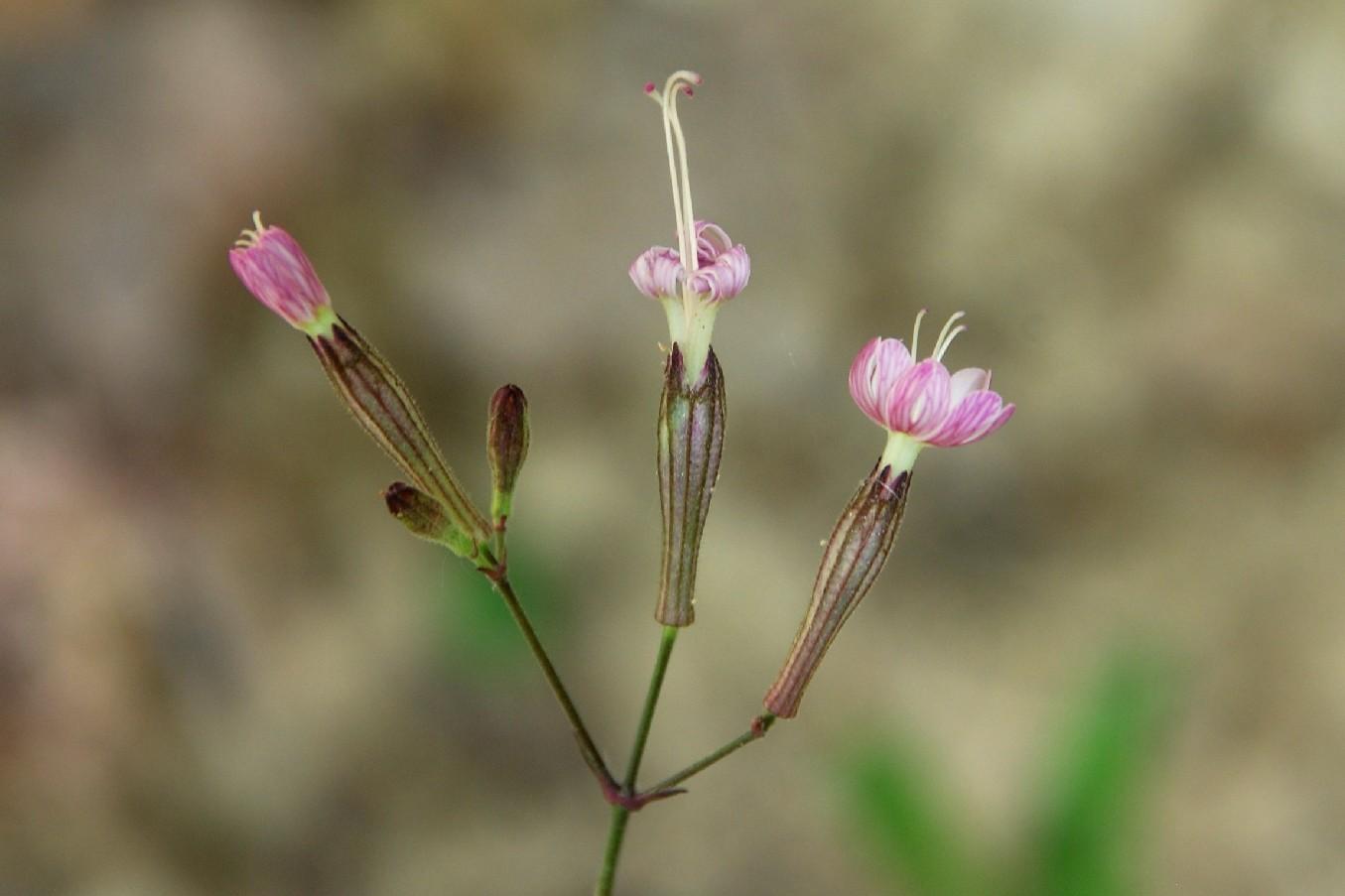 Silene italica subsp. italica 16