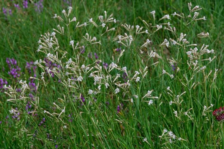 Silene italica subsp. italica 19