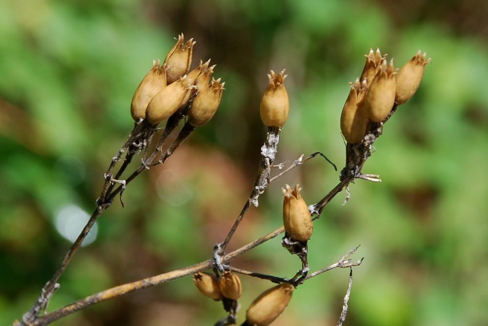 Silene italica subsp. italica 21