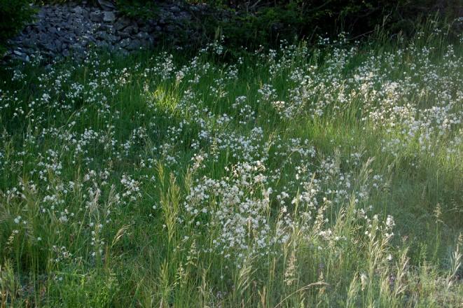 Silene italica subsp. italica 4