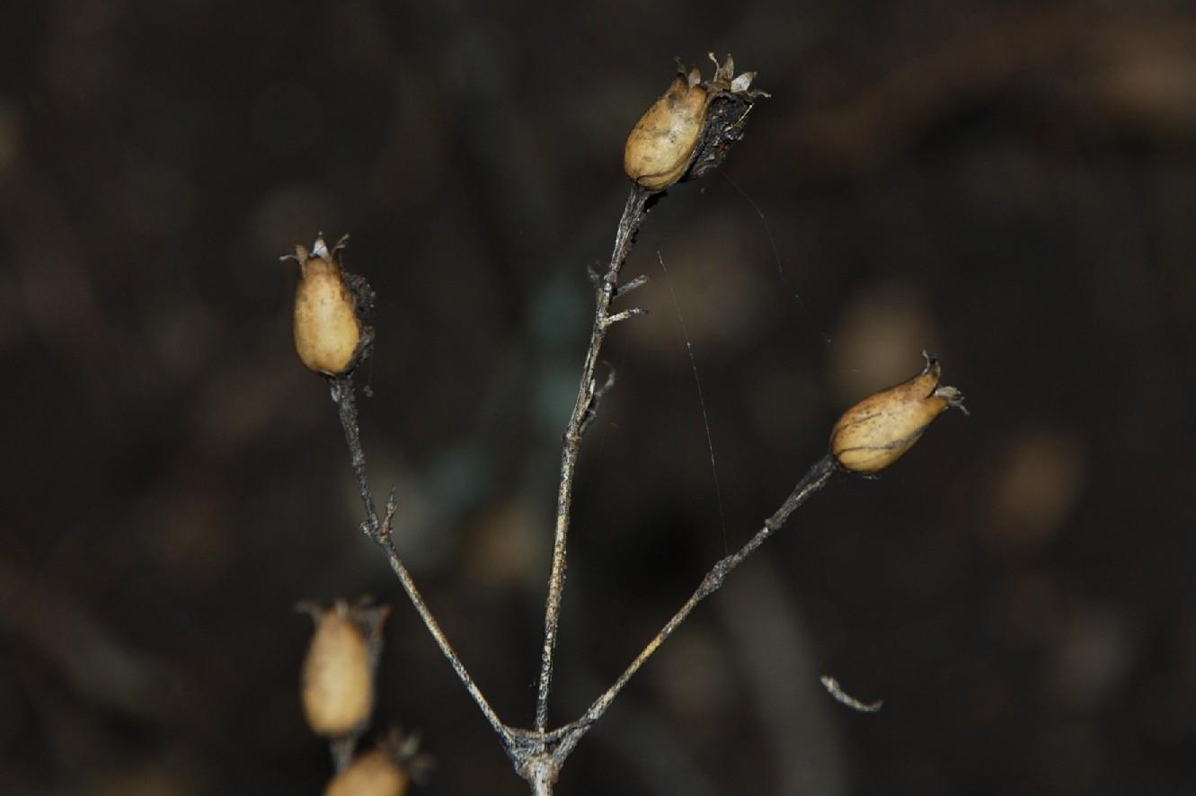 Silene italica subsp. italica 8