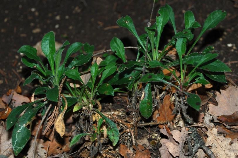 Silene italica subsp. italica 9