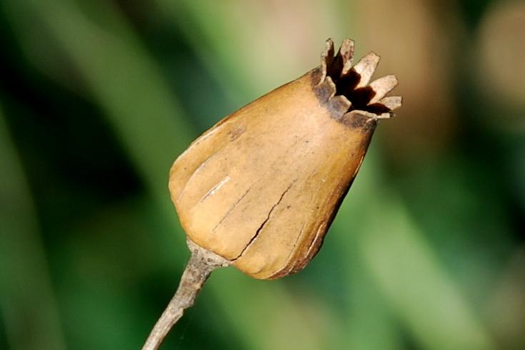 Silene latifolia 6