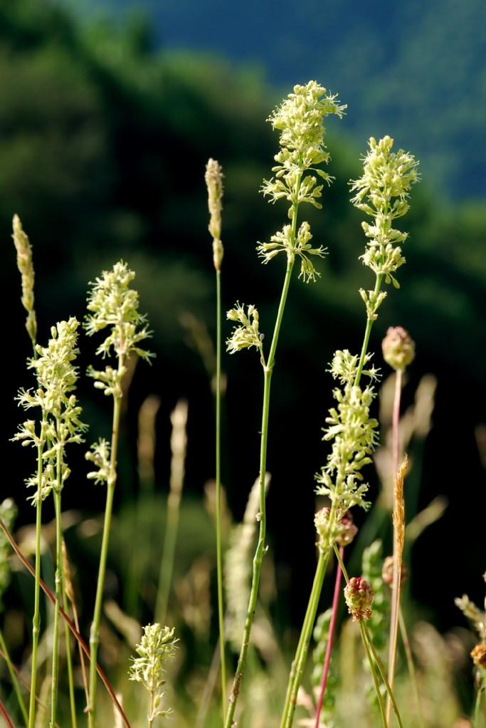 Silene otites subsp. otites