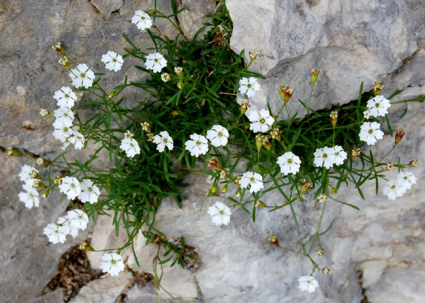 Silene pusilla subsp. pusilla