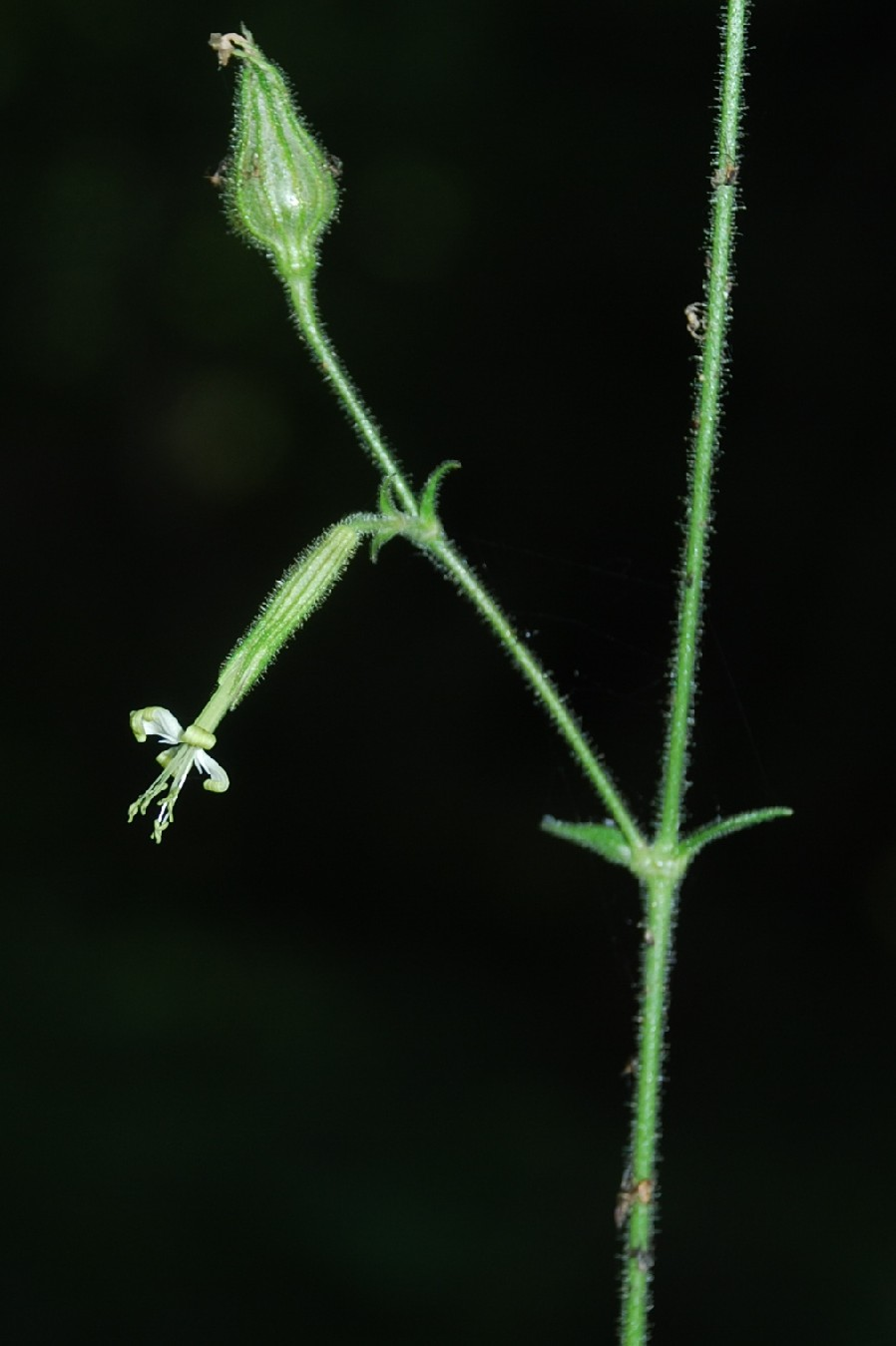 Silene viridiflora