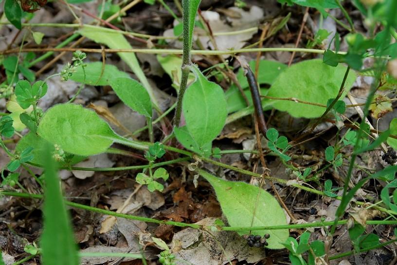 Silene viridiflora 11