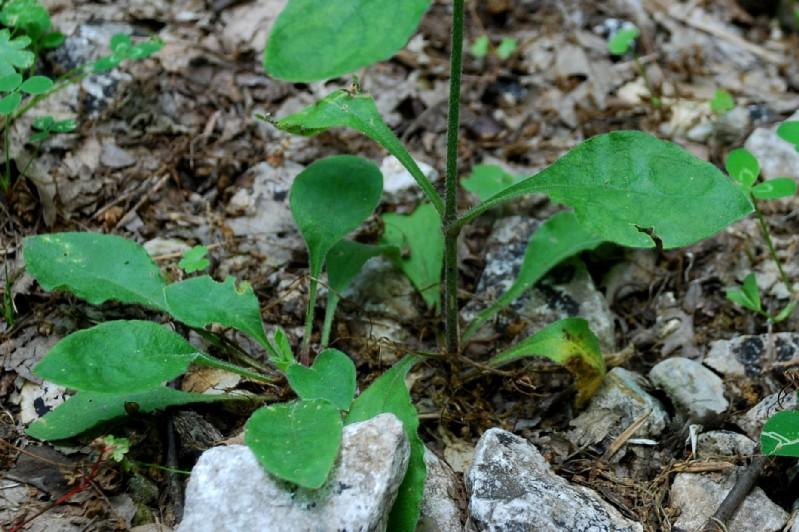 Silene viridiflora 12
