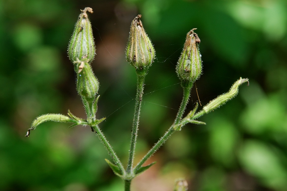 Silene viridiflora 14