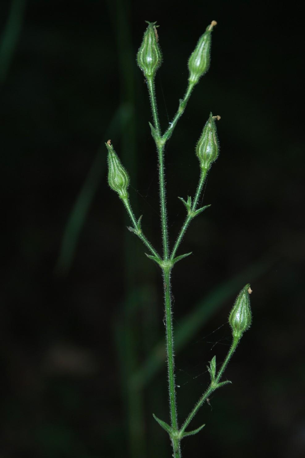 Silene viridiflora 16