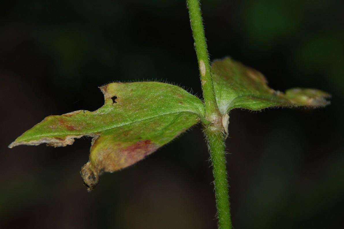 Silene viridiflora 17
