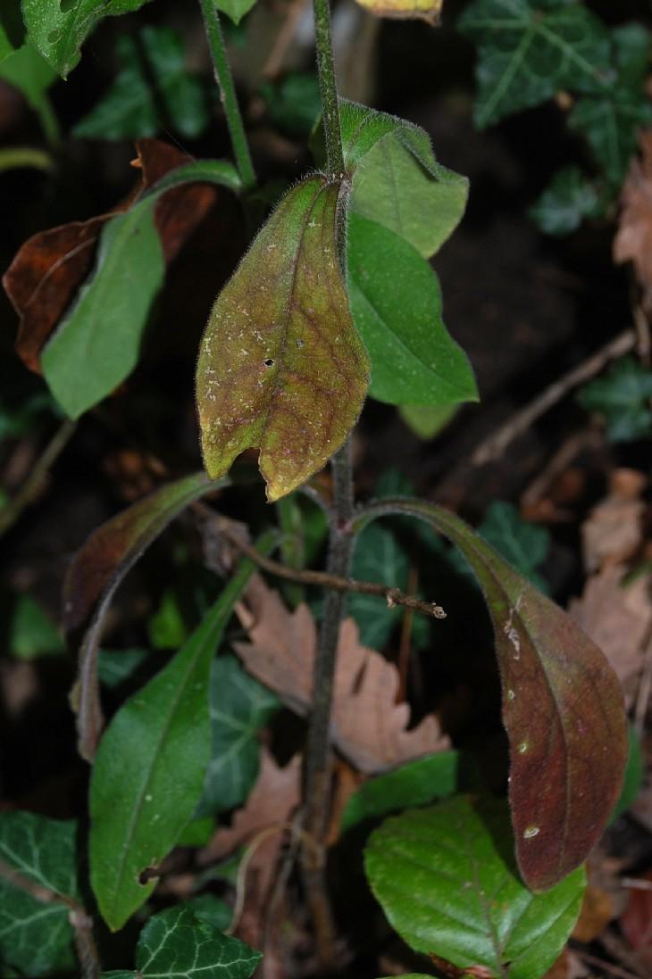 Silene viridiflora 19
