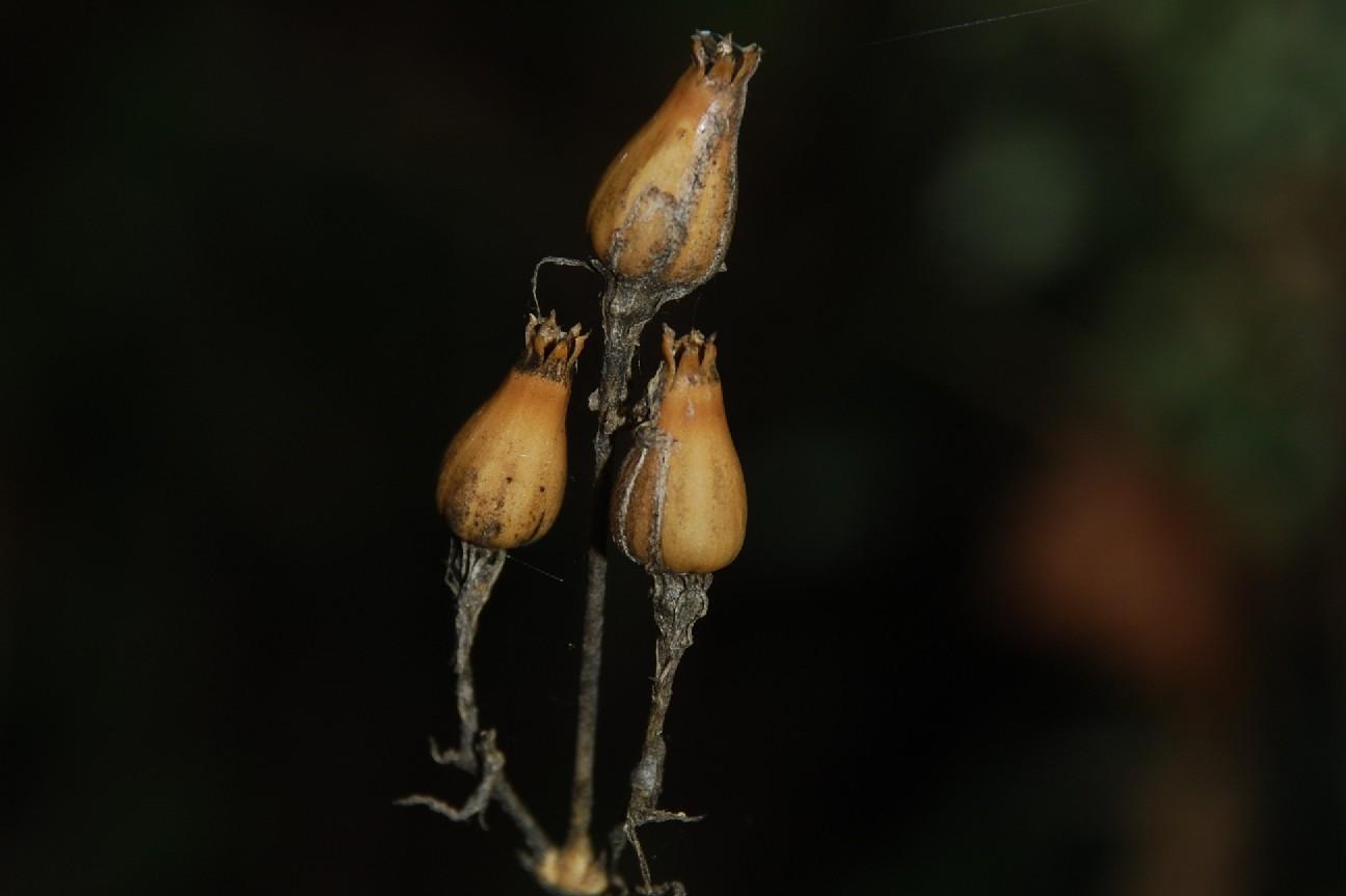 Silene viridiflora 20