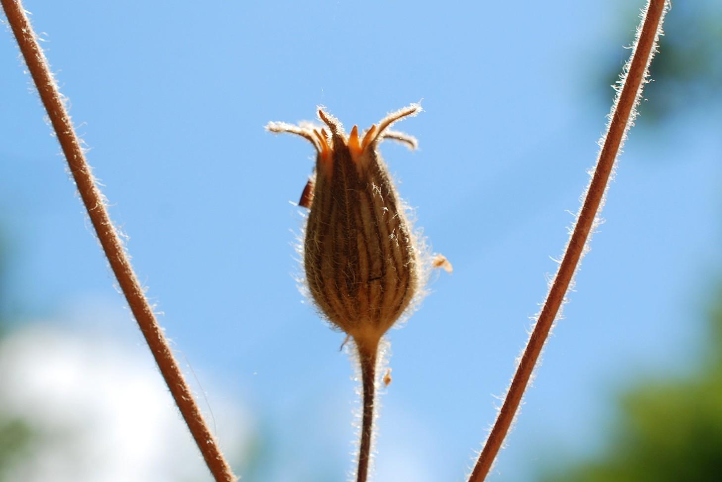 Silene viridiflora 25