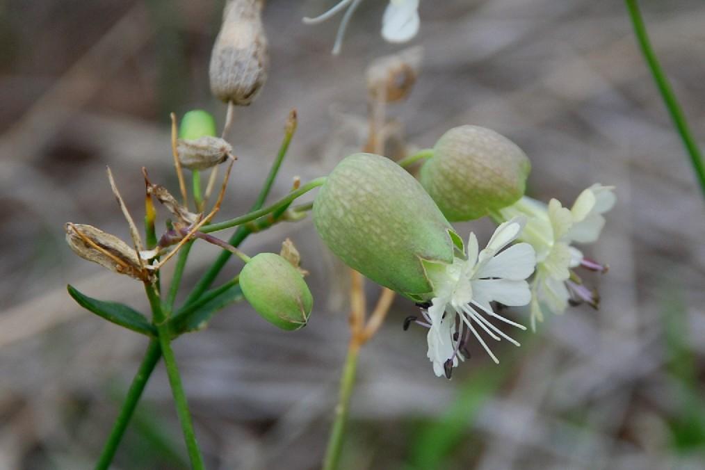 Silene vulgaris subsp. vulgaris 14