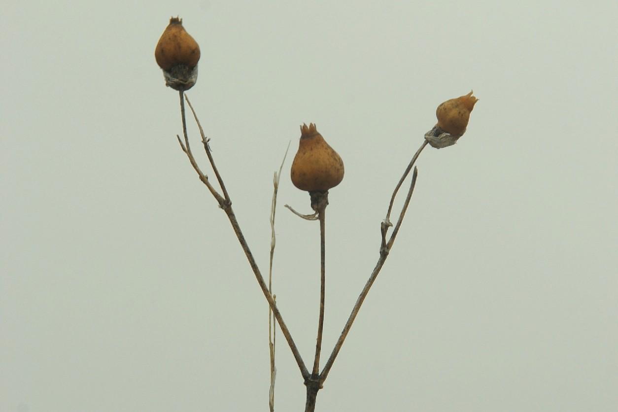 Silene vulgaris subsp. vulgaris 17