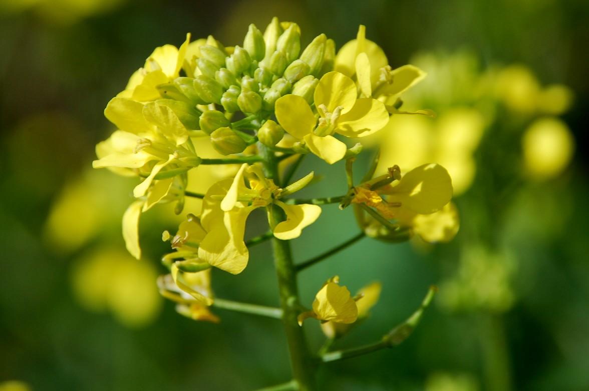 Sinapis alba subsp. alba 5