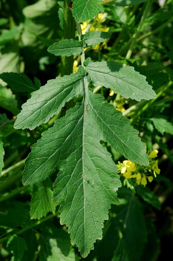 Sinapis alba subsp. alba 11