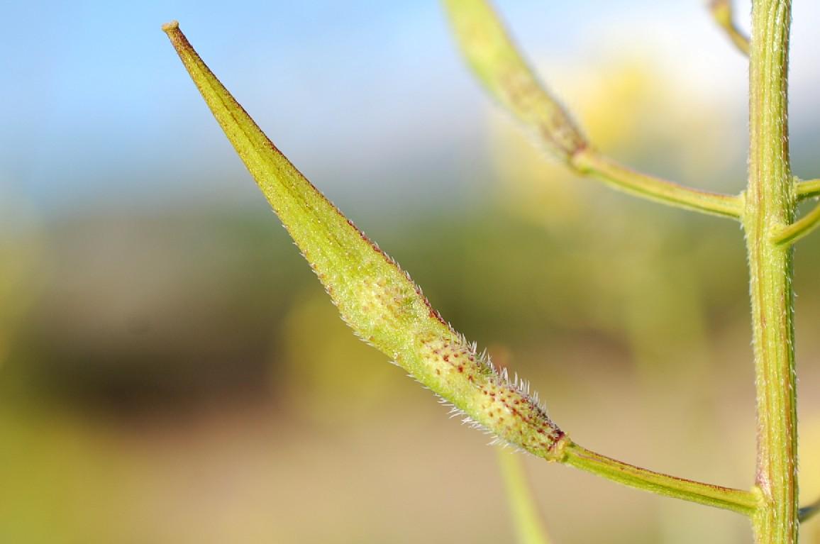 Sinapis alba subsp. alba 18
