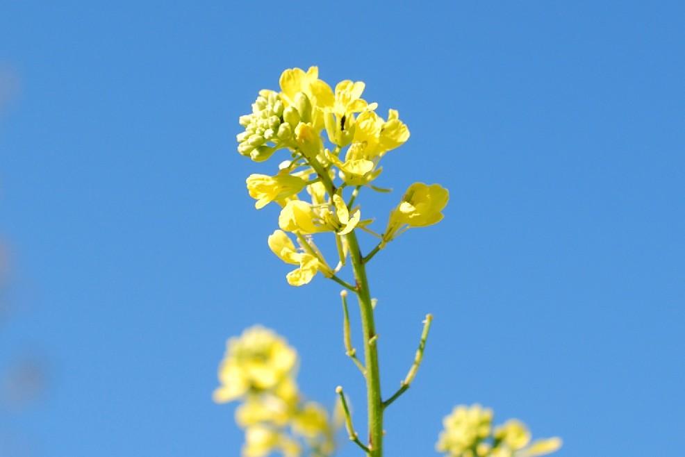 Sinapis alba subsp. alba 19