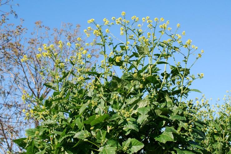 Sinapis alba subsp. alba 20