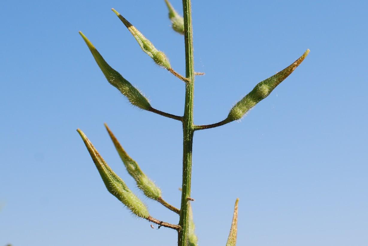 Sinapis alba subsp. alba 24