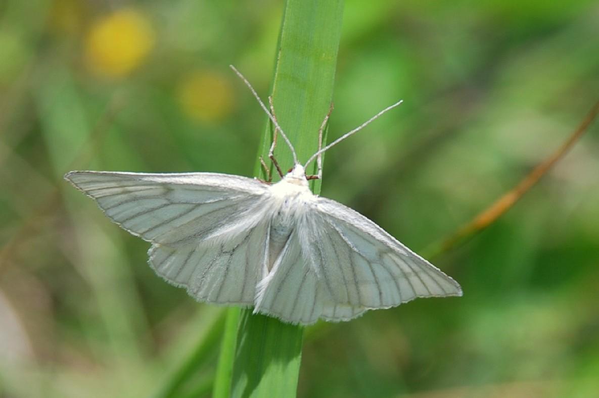 Siona lineata - Geometridae