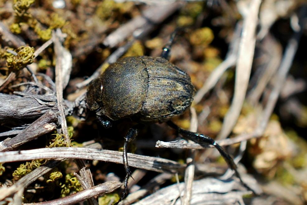 Sisyphus schaefferi - Scarabaeidae