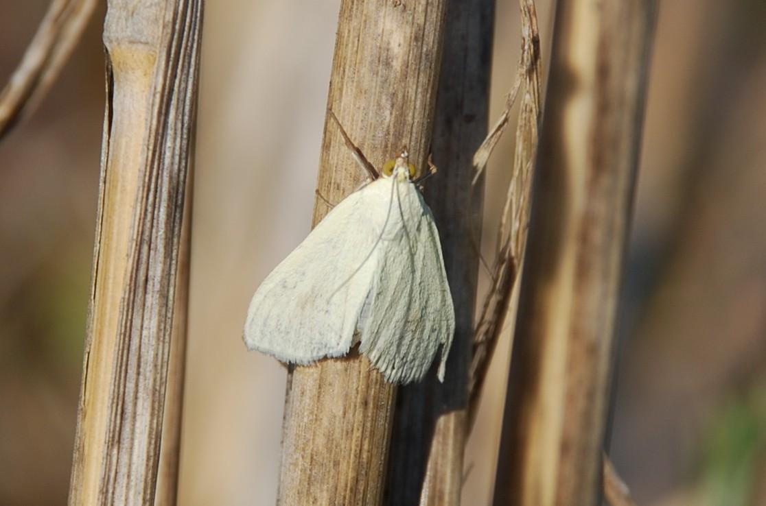 Sitochroa palealis - Crambidae