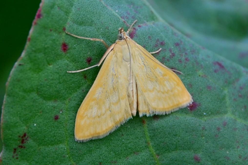 Sitochroa verticalis - Crambidae