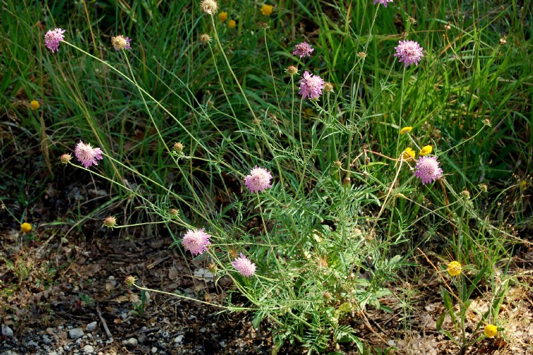 Sixalis atropurpurea subsp. maritima