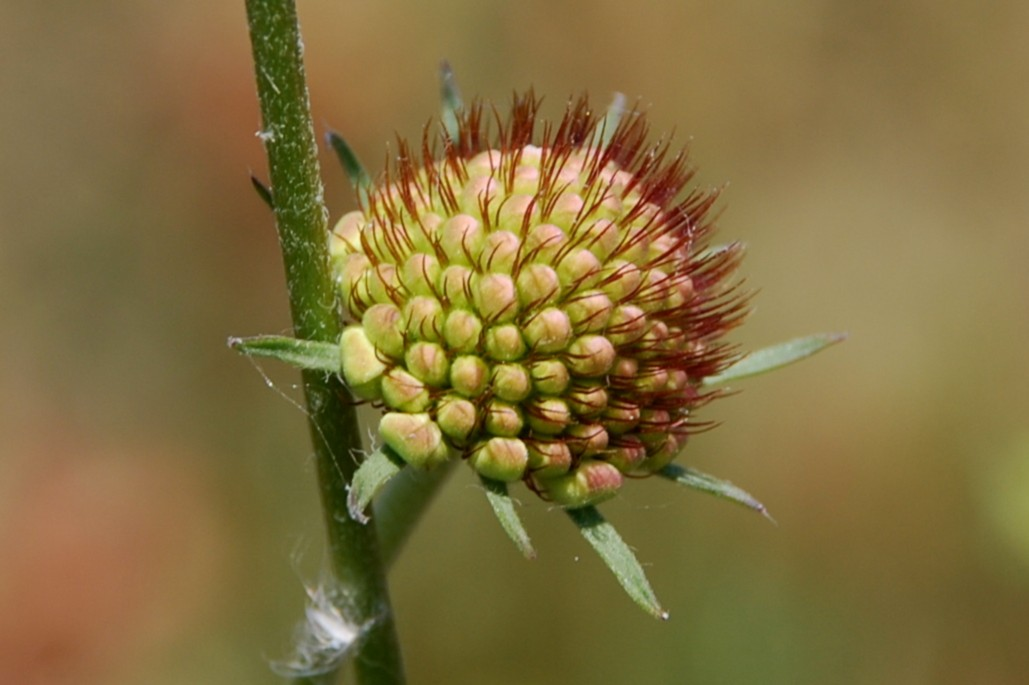 Sixalis atropurpurea subsp. maritima 12