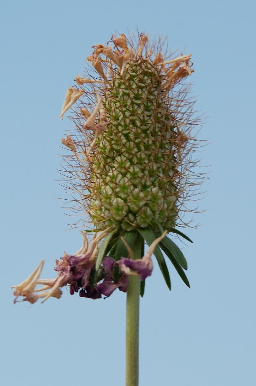 Sixalis atropurpurea subsp. maritima 18